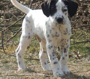 Atilla – adoptovaný